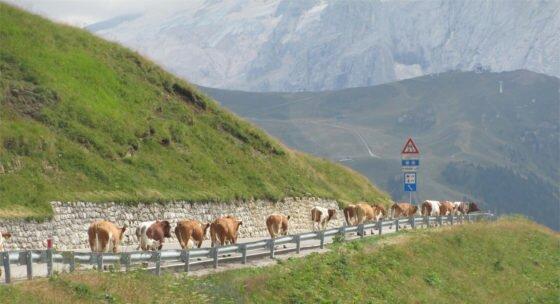 mucche in fila al passo sella